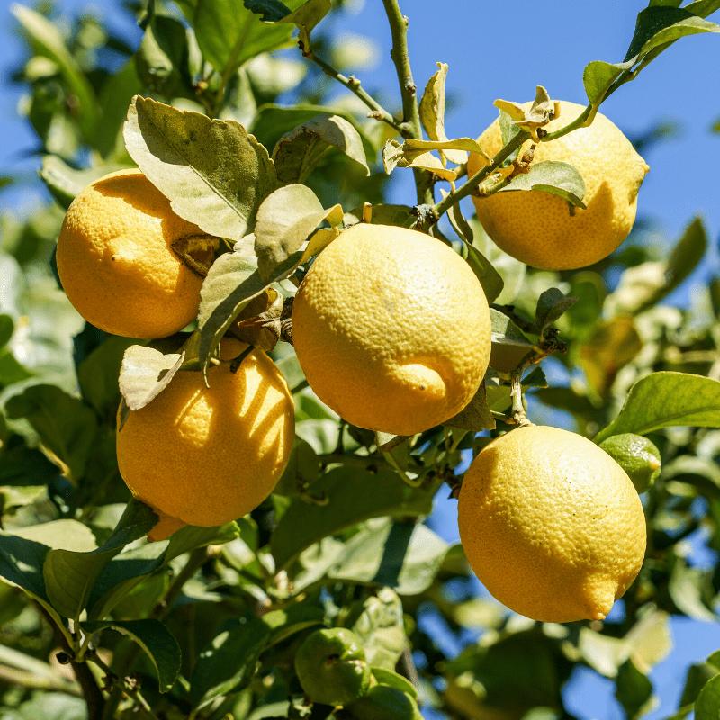 La verdad sobre las excepcionales propiedades del limón, fruta del bienestar y de la salud