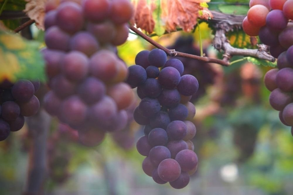 Why Primitivo is a must for any lovers of Italian Wine
