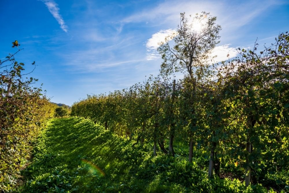 The History of the Vineyards of Prosecco