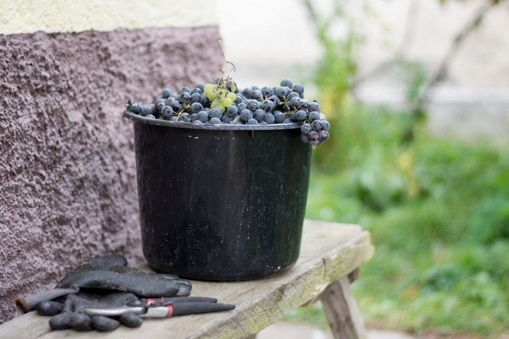 Ever Wondered How Grapes Are Harvested?
