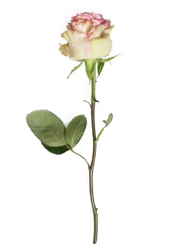 THE NEW ANNA MOLINARI ROSE CELEBRATES THE